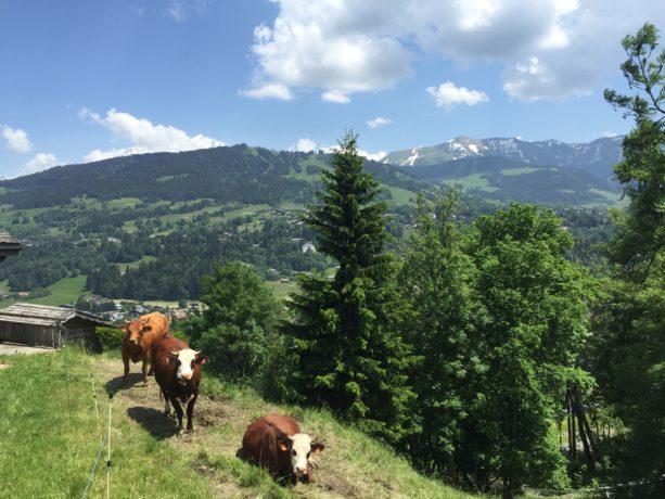 vaches - Jaillet